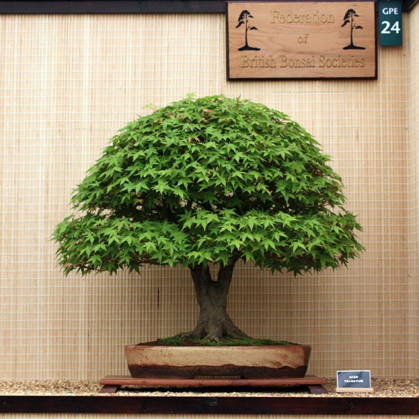 Acer Palmatum bonsai tree in broom style Bonsi Pinterest