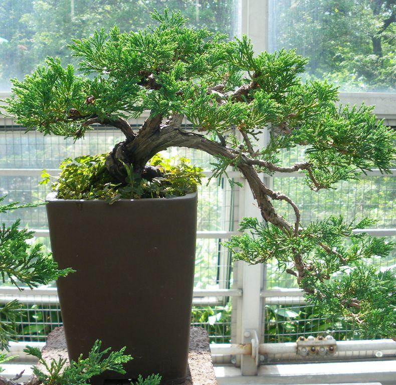 Juniperus conferta ' Blue Pacific' � Swindon & District Bonsai
