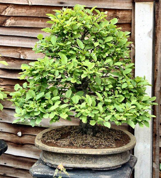Alder bonsai