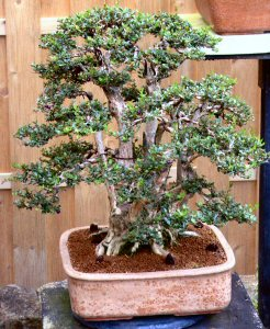 Lonicera bonsai