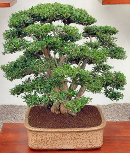Lonicera bonsai