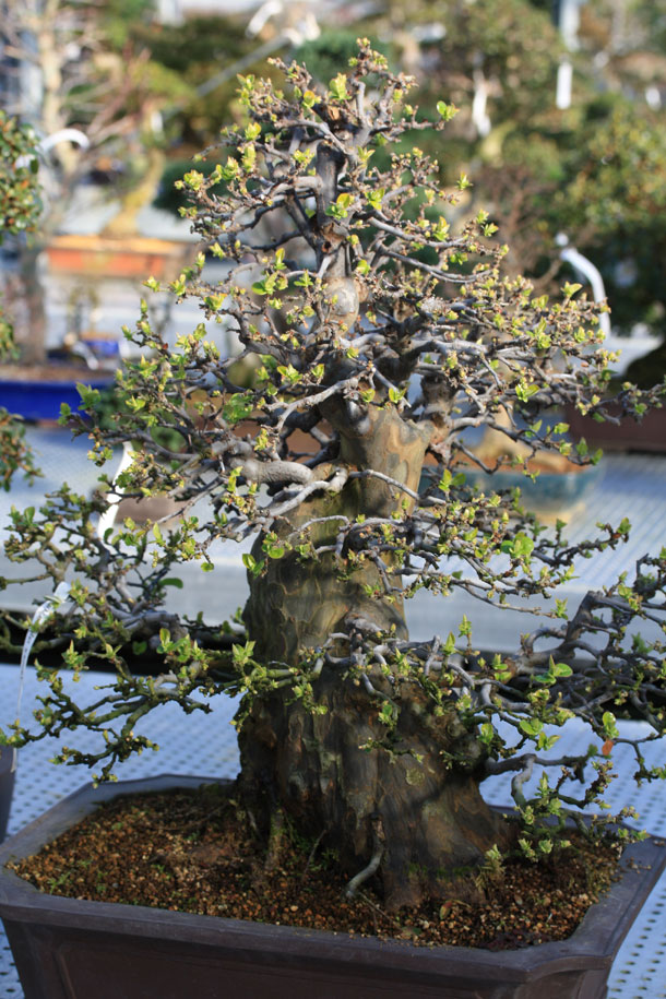 Chaenomeles Japonica bonsai