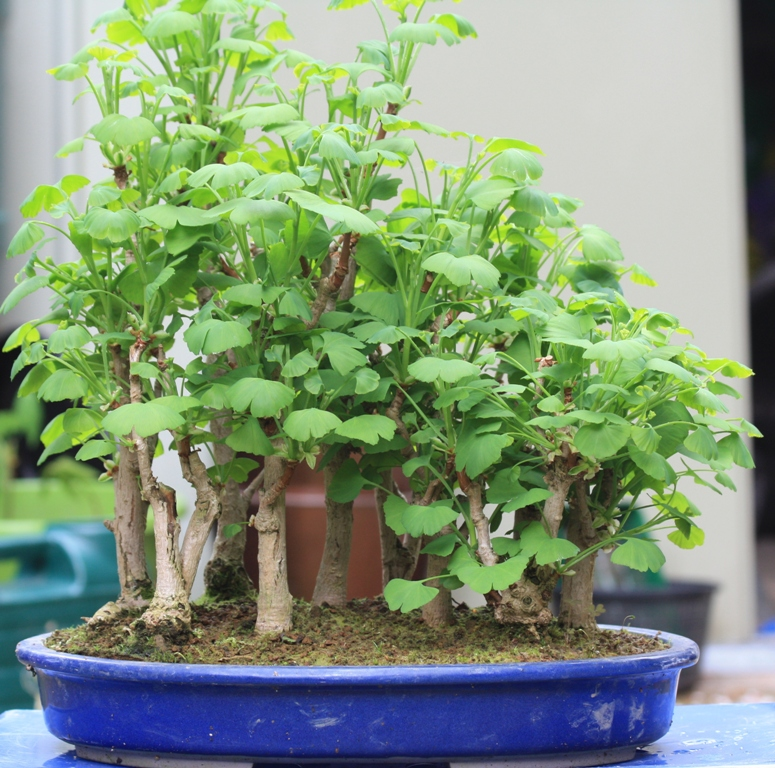 Introduction To Ginkgos As Bonsai