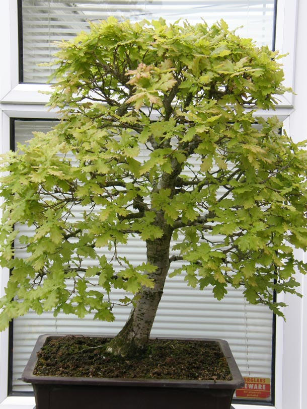 English Oak Bonsai