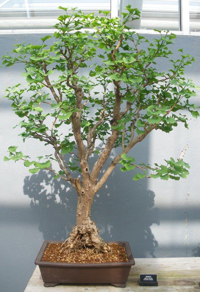 ginkgo biloba swindon district bonsai. Black Bedroom Furniture Sets. Home Design Ideas