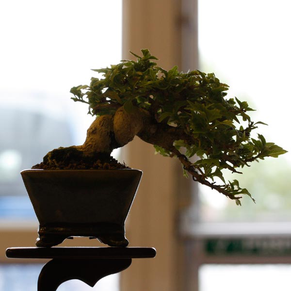 1st place: Musk Maple 'Premna Microphylla' BB
