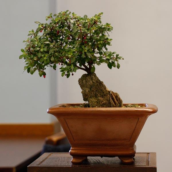 2nd place: Fuchsia 'Lottie Hobby' PB