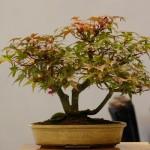 3rd place: Deshojo Maple 'Acer palmatum Deshojo' SM