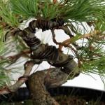 White Pine wiring detail