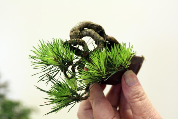 Scots Pine Mame