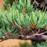 White Pine foliage