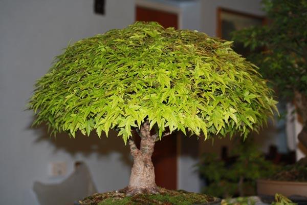 Acer palmatum Kiyohime