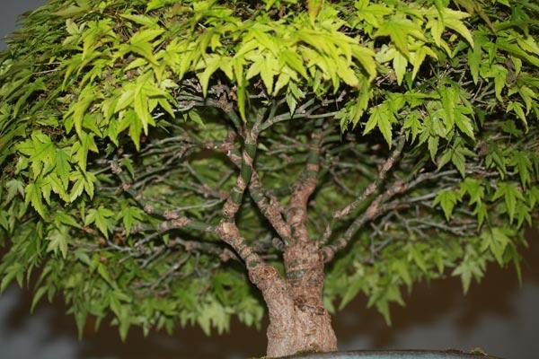 Acer palmatum Kiyohime branch structure