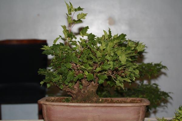 Amur maple - Acer ginnala