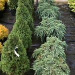 Swanborough Conifers