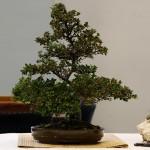 Cotoneaster PB