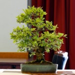 Chinese Elm MP