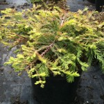 Taxodium distichum 'Secrest'