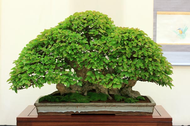 Best Large Tree in Bonsai World 2011