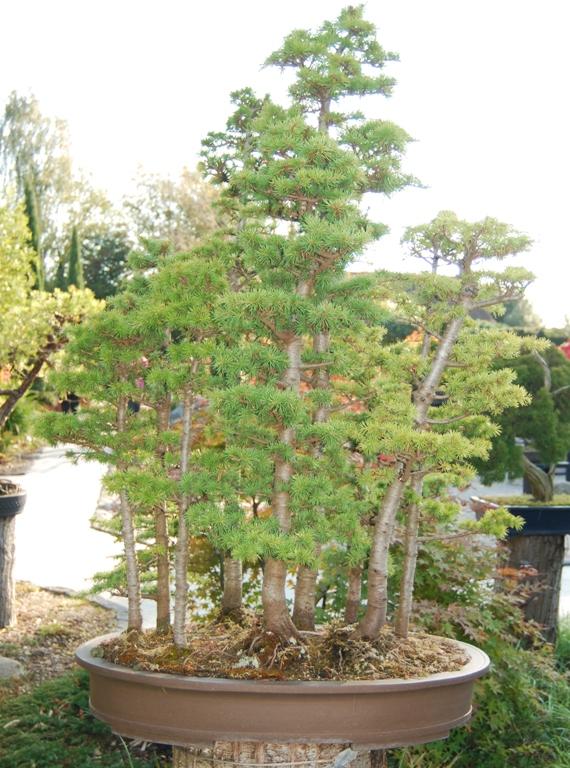 Bonsai Rhs Gardens Wisley 171 Swindon Amp District Bonsai