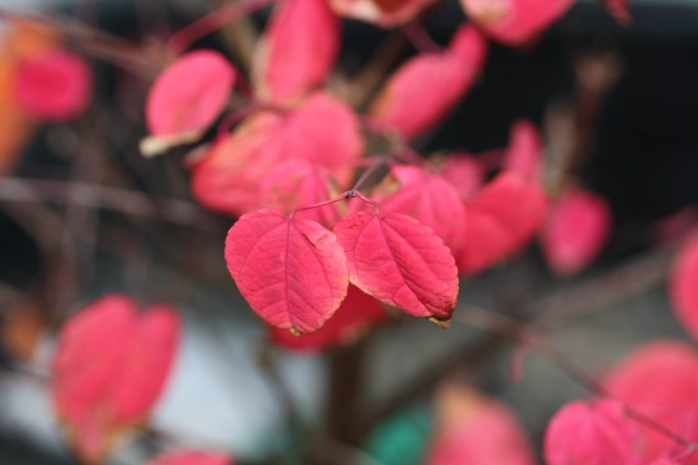 Can You Smell Your Katsura Tree Swindon District Bonsai