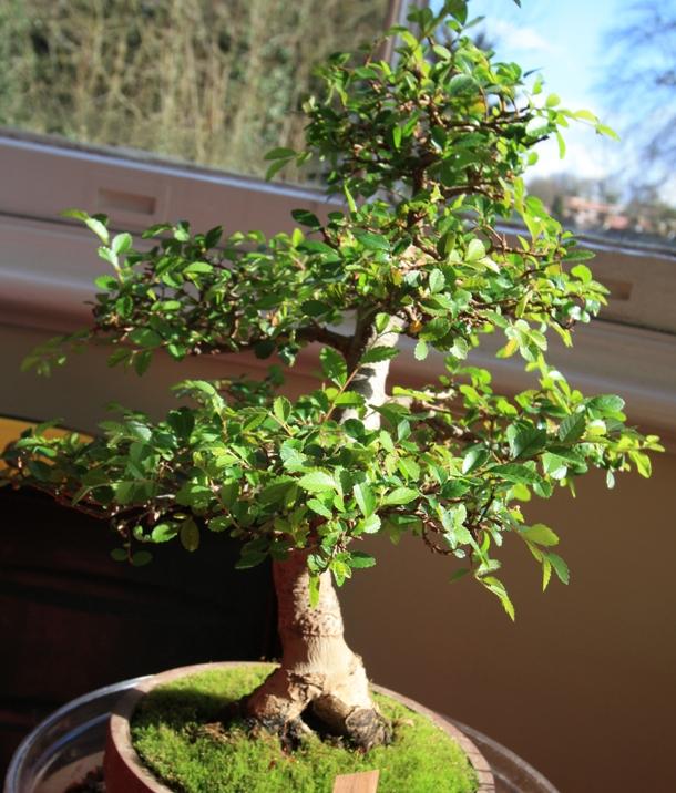 Chinese Elm shape