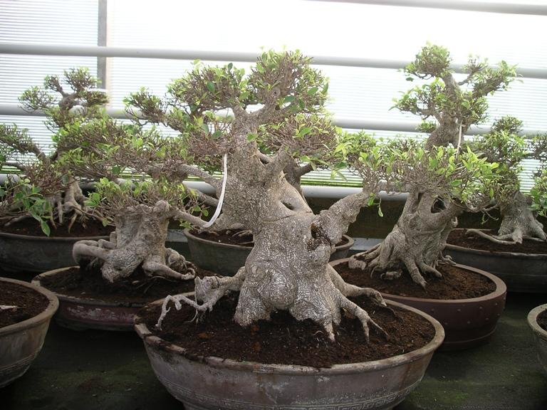 Ficus_Lodders Bonsai