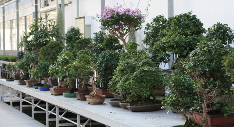 Indoor bonsai_Lodders Holland