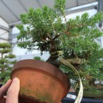WindyBank Bonsai trees for sale