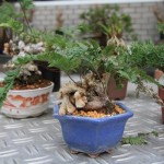Bonsai Accents
