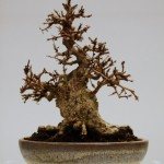 1st place Korean Hornbeam