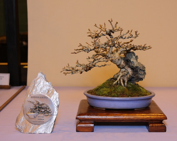 Best Shohin award for Paul Hunt's Forsythia