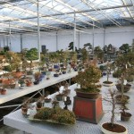 Range of Bonsai trees