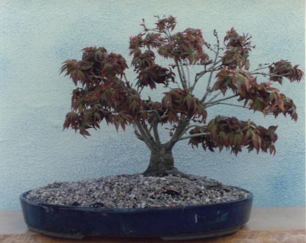 Acer palmatum 'Kiyohime' in 1980