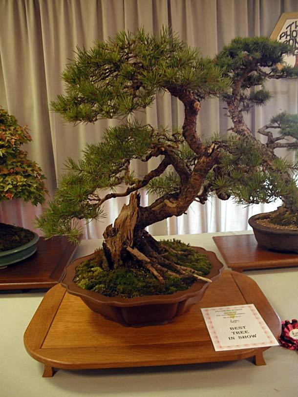 Salisbury Bonsai Best Tree In Show