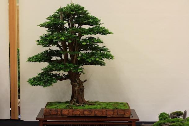 wiring yew bonsai wire center u2022 rh regalton co Pruning Taxus Yews Yew Taxus Species