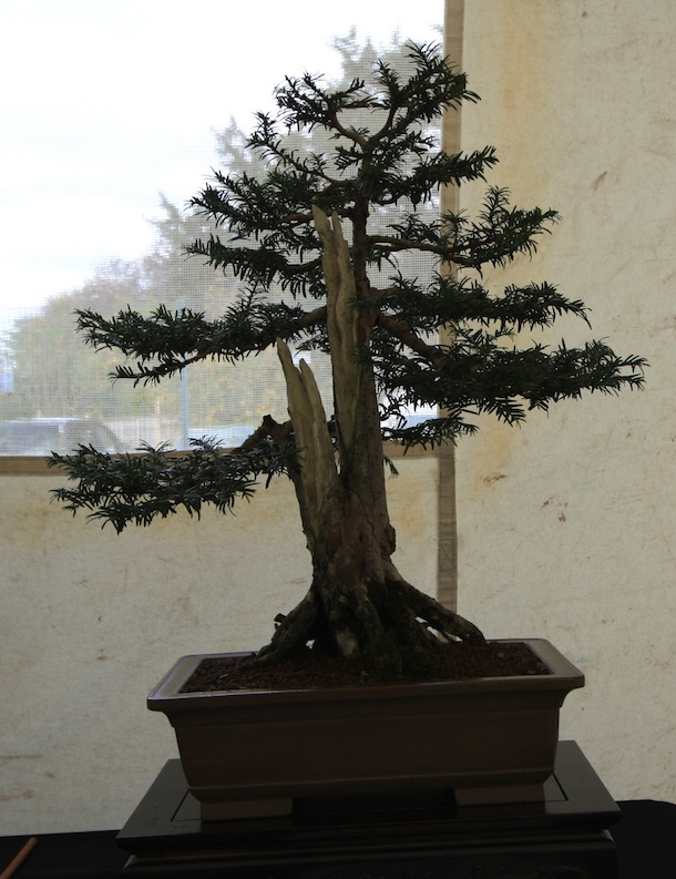 Magnificent Yew Trees As Bonsai Wiring Digital Resources Honesemecshebarightsorg