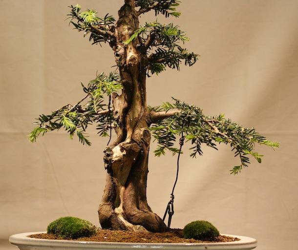 wiring yew bonsai wire center u2022 rh regalton co Larch Bonsai Bonsai Tree