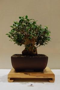 Taiwan Fig