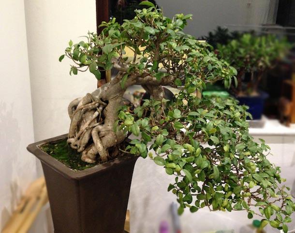 Fantastic Ficus Microcarpa Ginseng Fig Or Banyan Fig Wiring Digital Resources Funapmognl