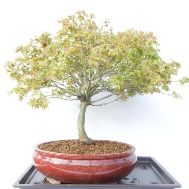 Acer palmatum Kiyohime Winter Show 2013 Raffle Prize
