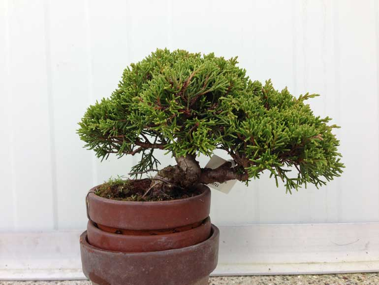Three pot juniper