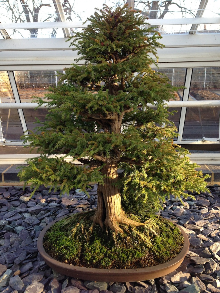 cryptomeria japonica as bonsai swindon district bonsai rh swindon bonsai co uk