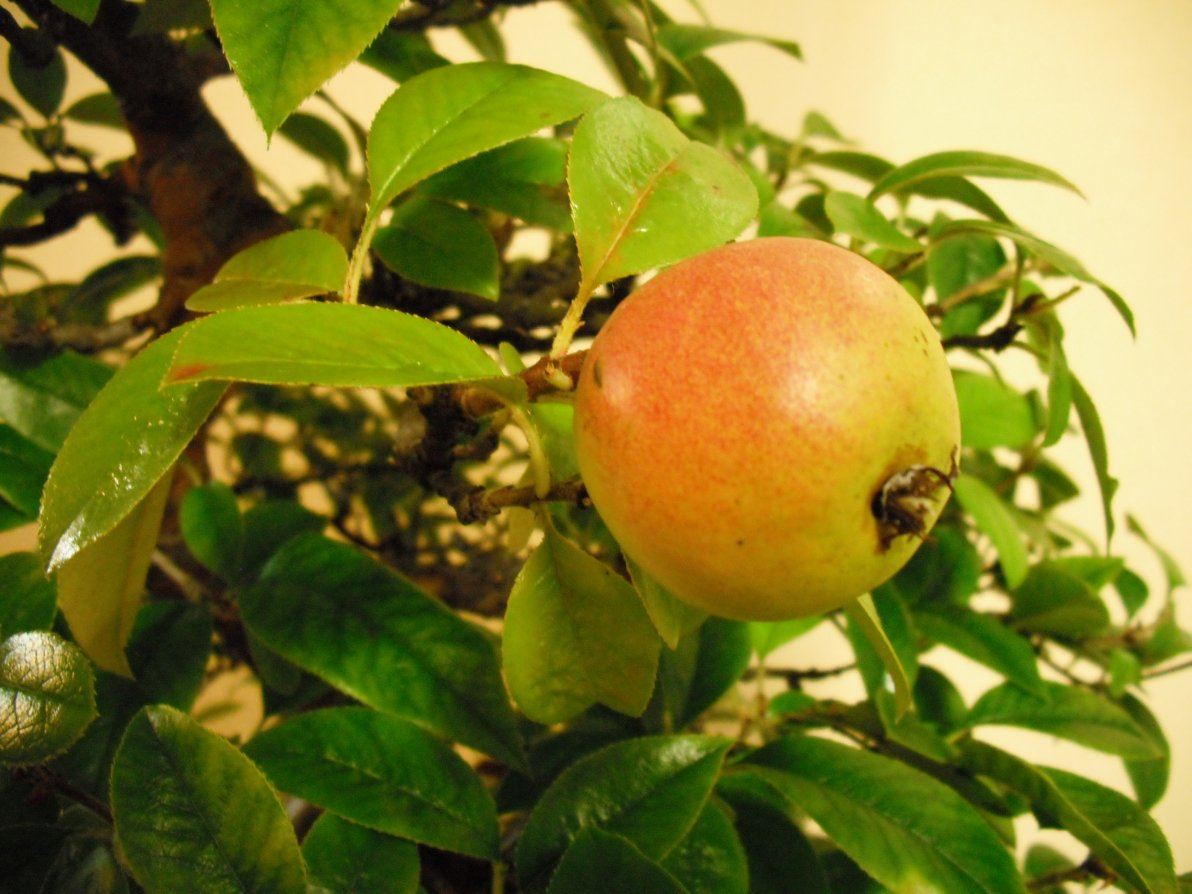Chinese Quince