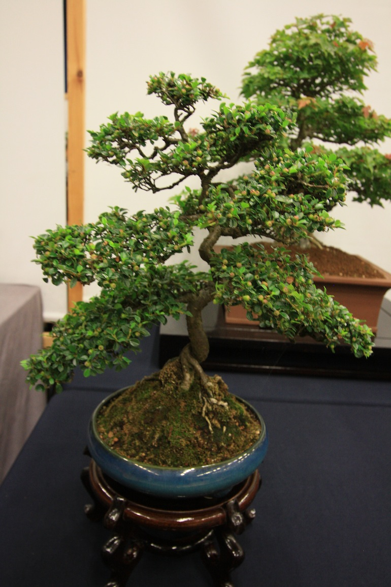 Beginners Guide To Buying A Bonsai Tree Swindon