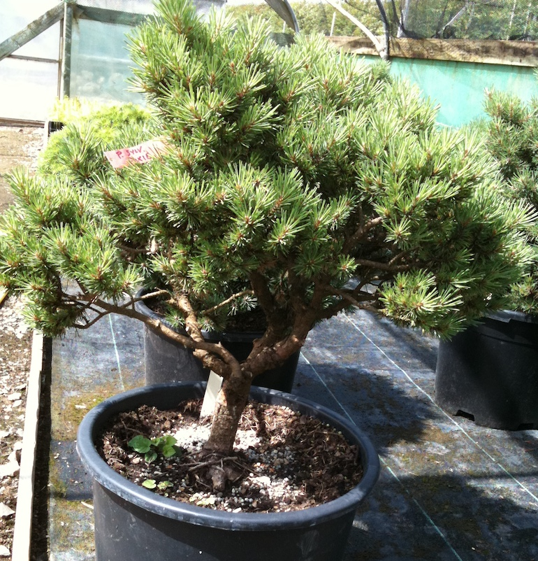 two needle pines swindon district bonsai. Black Bedroom Furniture Sets. Home Design Ideas