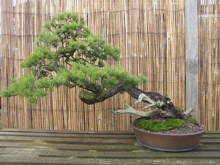 Scots Pine No 3.  L 41 ins H 27 ins
