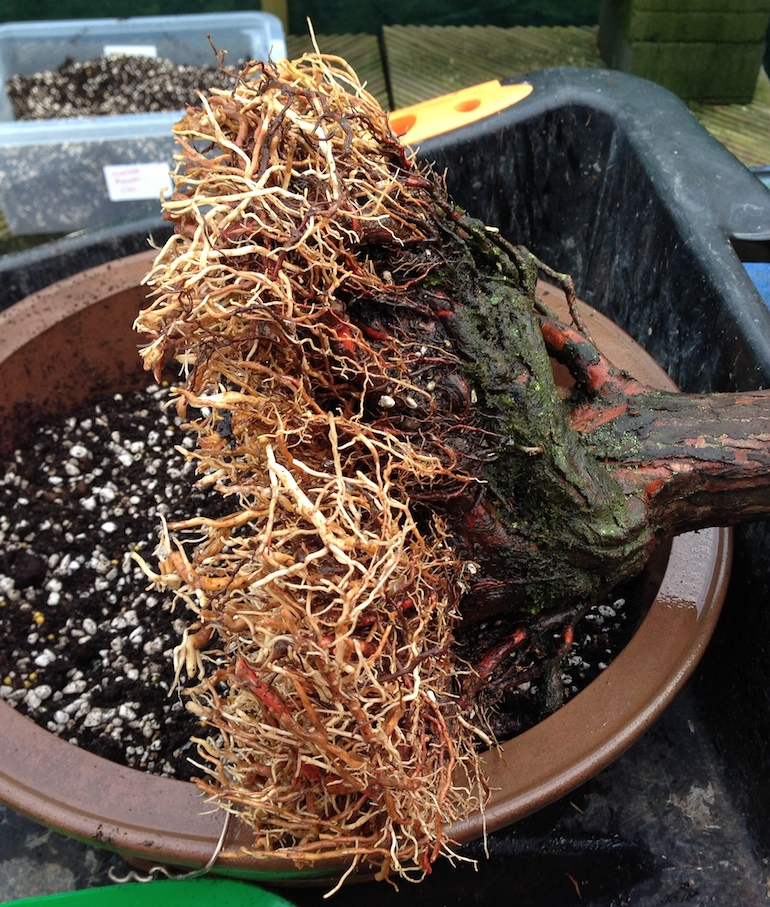 Swamp cypress trimmed roots