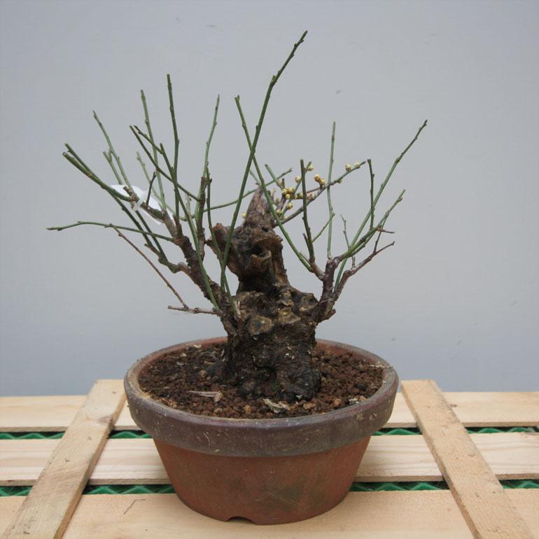 Winter Show Raffle Prunus mume