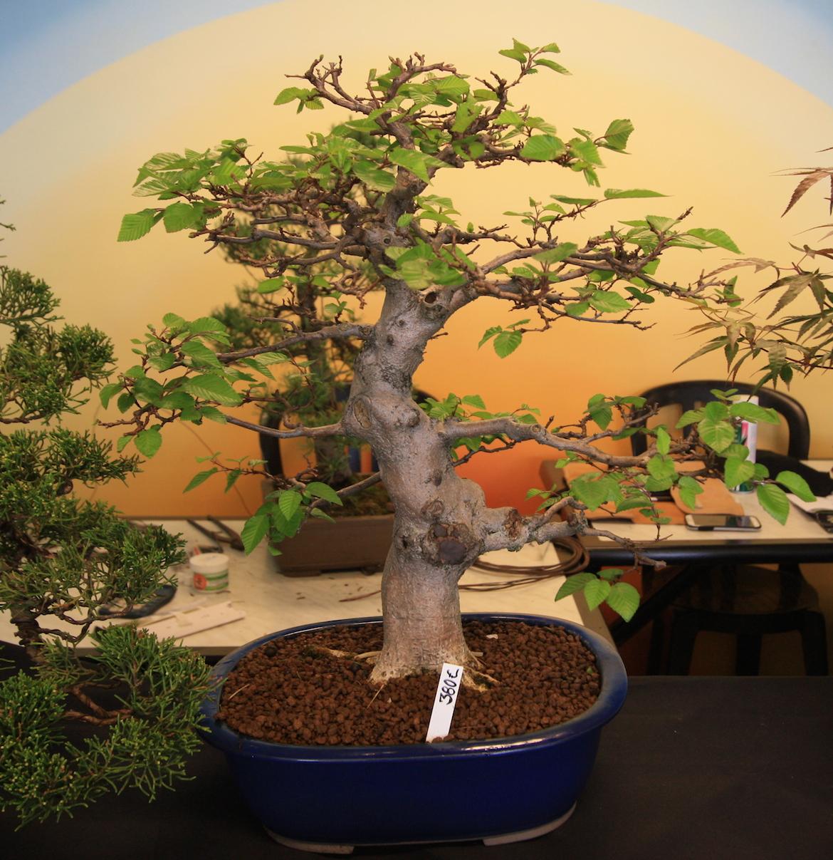 O bonsai jardin de bonsai swindon district bonsai for Bonsai de jardin